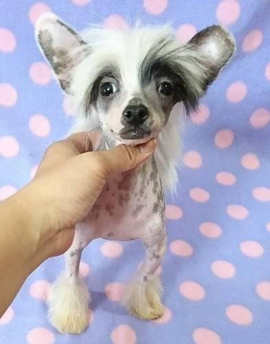 Resultado de imagen para Chinese Crested  犬 愛らしい