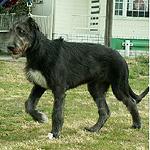 アイリッシュ・ウルフハウンド 犬種 の画像
