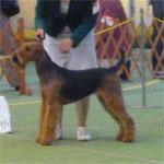 エアデール・テリア 犬種の画像