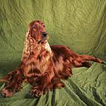 アイリッシュ・セッター 犬種 の画像