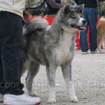 秋田犬 犬種の画像