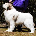 グレートピレニーズ 犬種の画像