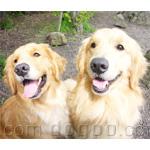 ゴールデン・レトリーバー 犬種の画像