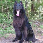 ベルジアン・シェパード・ドッグ 犬種の画像