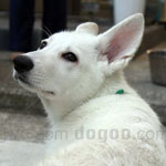 ホワイト・スイス・シェパード・ドッグ 犬種の画像