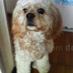 アメリカン・コッカー・スパニエル 犬種の画像