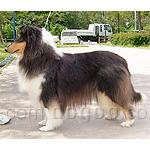 コリー(ラフ・コリー) 犬種の画像