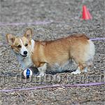 ウェルシュ・コーギー・ペンブローク 犬種の画像