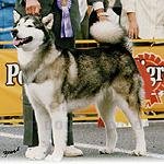 アラスカン・マラミュート 犬種の画像