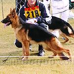 ジャーマン・シェパード・ドッグ 犬種の画像