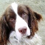 イングリッシュ・スプリンガー・スパニエル 犬種の画像