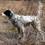 イングリッシュ・セター 犬種の画像