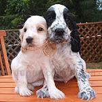 イングリッシュ・コッカー・スパニエル 犬種の画像