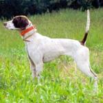 イングリッシュ・ポインター 犬種の画像