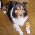 シェルティ(シェットランド・シープドッグ) 犬種の画像