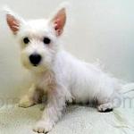 ウェスティー(ウエスト・ハイランド・ホワイト・テリア) 犬種の画像