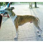 ウィペット 犬種の画像