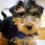 ウェルシュ・テリア 犬種の画像