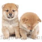 柴犬 犬種の画像