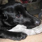 オーストラリアン・ケルピー 犬種の画像
