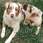 オーストラリアン・シェパード 犬種の画像