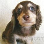 ミニチュア・ダックスフンド 犬種の画像