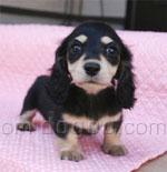 カニンヘン・ダックスフンド 犬種の画像