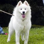 サモエド 犬種の画像