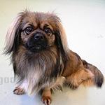 チベタン・スパニエル 犬種の画像
