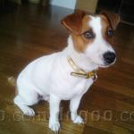 ジャック・ラッセル・テリア 犬種の画像