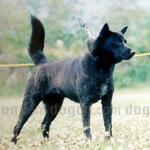 甲斐犬 犬種の画像