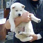 四国犬 犬種の画像