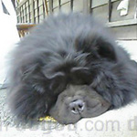 チャウ・チャウ 犬種の画像