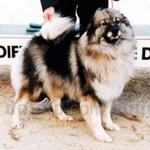 キースホンド 犬種の画像