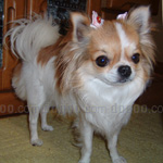 チワワ  犬種の画像