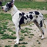 グレート・デーン 犬種の画像