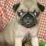 パグ 犬種の画像