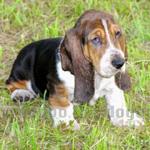 バセット・ハウンド 犬種の画像
