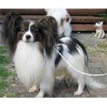 パピヨン 犬種の画像