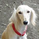 サルーキ 犬種の画像
