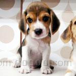 ビーグル 犬種の画像