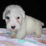 シーリハム・テリア 犬種の画像