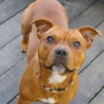 スタッフォードシャー・ブル・テリア 犬種の画像