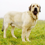 スパニッシュ・マスティフ 犬種の画像