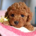 トイ・プードル 犬種の画像