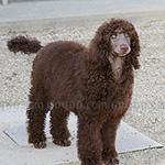 スタンダード プードル 犬種の画像