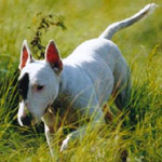 ブル・テリア 犬種の画像