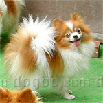 ポメラニアン 犬種の画像