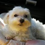 マルチーズ 犬種の画像