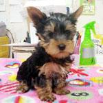 ヨーキー(ヨークシャー・テリア) 犬種の画像
